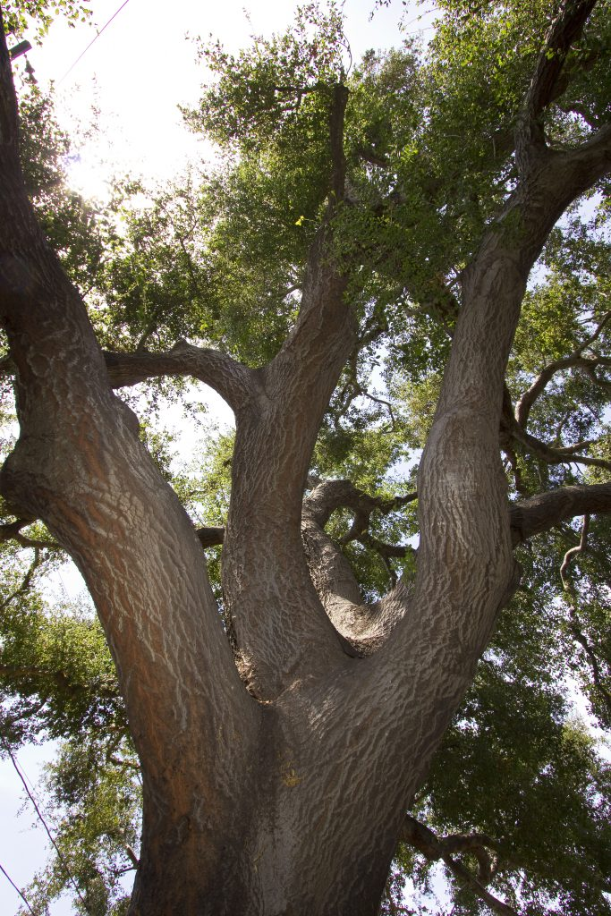 santa barbara oak trees, santa barbara foothills, foothill road, cathedral oaks, via campobellow, georgi park,