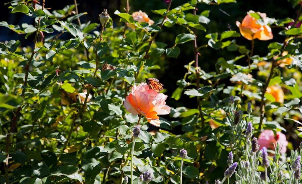 santa barbara, rose garden, butterfly, backyard, luxury home
