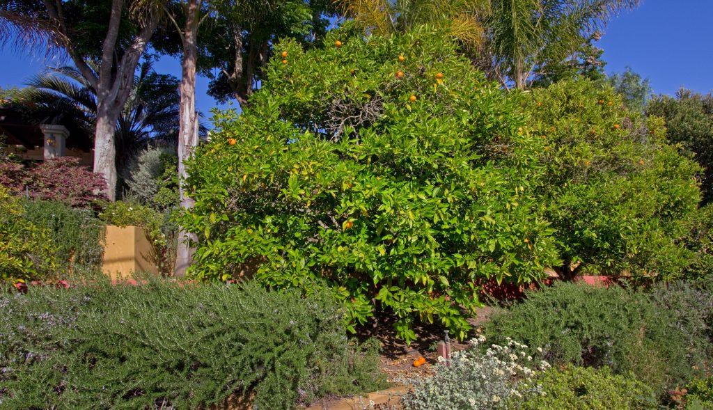 large garden, santa barbara orange tree, custom landscape