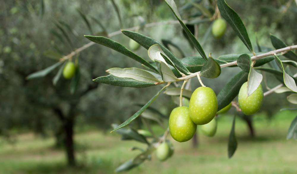 los olivos real estate california santa barbara county