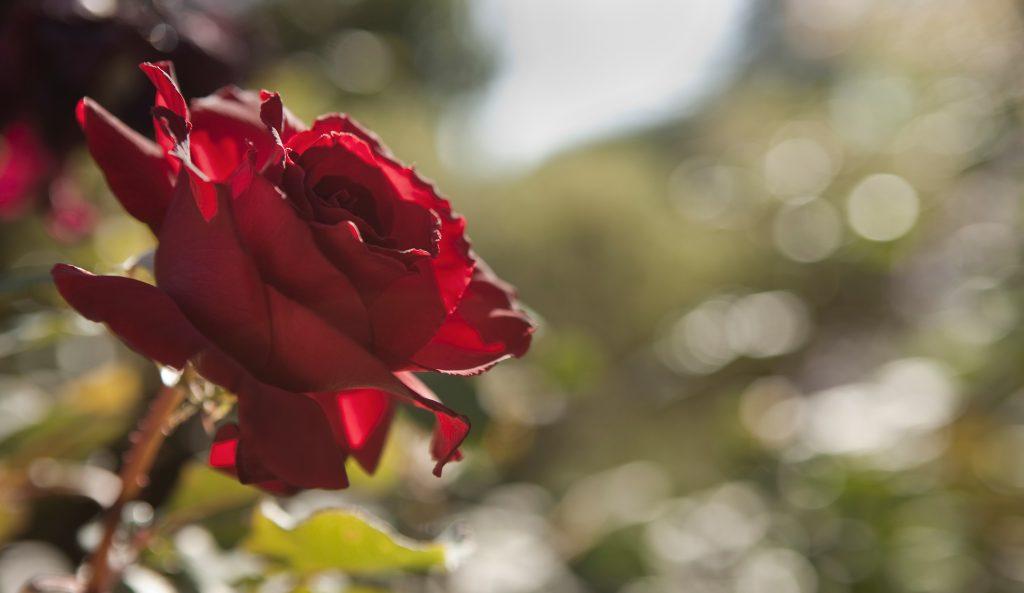 montecito santa barbara rose garden, real estate, realtor,